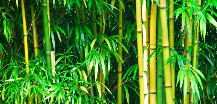 O bambu e suas histórias incríveis, por Simone Curi